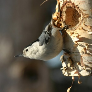 White-breasted nuthatch, copyright 2010 Christine Petersen